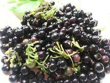 Wonderberry - Solanum x burbankii - 20+Samen - Ertragreiche Frucht