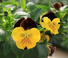 CooL WAVE Pansy Seeds ~ SUNSHINE 'N WINE ~ Trailing for Hanging Baskets ~ NEW