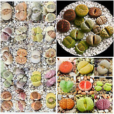 10 semi di Lithops mix, sassi viventi, living stones , semi piante succulente