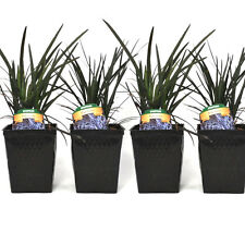 4 Potted Black Mondo Grass Plants Great For Container Gardens - Shade Planting