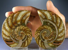 OUR FINEST LARGE & COLORFUL POLISHED AMMONITE PAIR, TOP QUALITY, MADAGASCAR