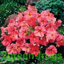 Petunia Dolcissima Fragolino 20 pelleted Seeds