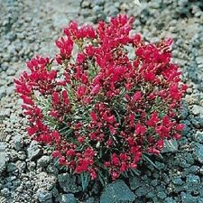 150 ROCK PURSLANE 'RUBY TUESDAY' Calandrinia Umbellata Flower Seeds *Comb S/H