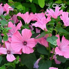 ROYAL MALLOW (Lavatera Trimestris ) 300+EXTRA seeds (#553)