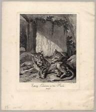 Löwin-Löwinnen-Löwe-Tiere-Lion Ridinger Kupferstich 1738 Raubtiere