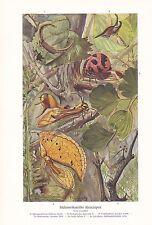Klein chantent Amérique du sud cigales Cicadidae impression couleur de 1915