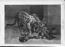 GRAVURE Panthera onca Jaguar  yaguar JARDIN DES PLANTES PARIS  1873