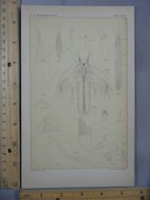 Rare Antique Orig Fairy Shrimp Streptocephalus Texanus Illustration Art Print