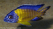 (1) Neon Blue Dorsal Peacock African Cichlid Live fish 1.5 inch GUARANTEED