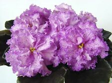 PT-Rozalin~African Violet~Plant~Russian Variety
