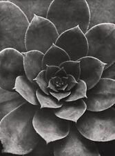 1928 Vintage SEMPERVIVUM PERCARNEUM Botanical Objectivity ALBERT RENGER-PATZSCH