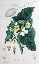 Momordica Elaterium Eselsgurke Gurke Spritzgurke Gemüse Squirting Cucumber Fruit