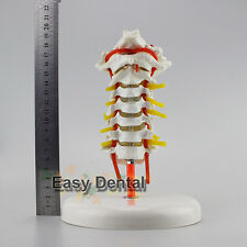 Cervical Vertebra Arteria Spine Spinal Nerves Anatomical Model Anatomy Neck