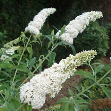 3 White Butterfly Bush - A Buddleia davidii White Profusion - Live Perennials