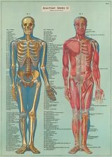 Anatomy Skelton Muscular System  Poster Cavallini & Co 20 x 28 Wrap