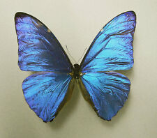MORPHO MARCUS ssp.MARCUS*male A--*FRENCH GUIANA