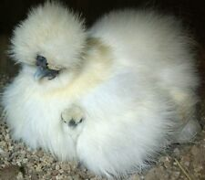 6 Silkie & Sizzle Chicken fertile bantam Hatching Eggs Partridge-Gray-Blue-White