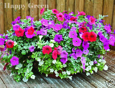 PETUNIA DWARF MIX - PETUNIA HYBRIDA NANA - 1000 seeds - Suitable for containers