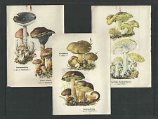 6 Different 1963 MUSHROOM / FUNGI COLORED PRINTS HOLSTEINISCHER COURIER     LQQK