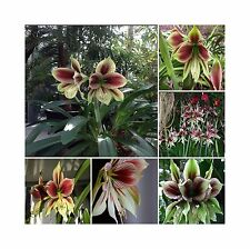 Hippeastrum Papilio * Butterfly Amaryllis * Rare Tropical Flower Plant * 3 Seeds