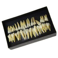 Dental 1:1 permanent Zahn Domonstration Modell zum Lernen 28 Zähne #7008