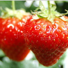 Heirloom Organic 100ALPINE STRAWBERRY  Fresh  Seeds  Sweet & Juicy TT199