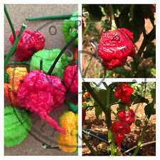 PEPERONCINO CAROLINA REAPER HP22B +TRINIDAD MORUGA + SCORPION BT 30 SEMI + GUIDA