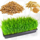 10g-1kg PREMIUM WHEAT GRASS SEEDS - Human Health Juicing Sprouting Dog Cat