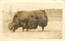 1930-1950 Real Photo Postcard; Arctic Musk Ox, Alaska, Sawyers, Unposted
