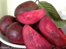 Rare Bonsai Purple Sweet Guava , Apple Guava , Tropical Psidium Guajava 10 seed