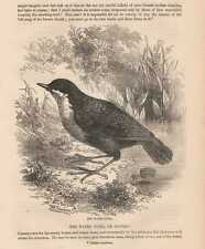 Wasseramsel Cinclus cinclus White-throated dipper HOLZLSTICH von 1866