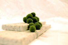 "Marimo Moss: 10 Cladophora balls ¼"" (0.635cm) U.S Seller!! For Betta / Shrimp"