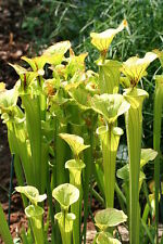 10 Seeds - Yellow Pitcher Plant - Sarracenia flava
