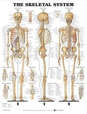 SKELETAL SYSTEM (LAMINATED) POSTER (66x51cm) ANATOMICAL CHART HUMAN BODY MEDICAL