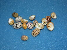 SEASHELLS  NERITA PELORONTA, 10-17MM, 16 SHELLS
