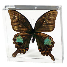 Real Butterfly Paris Peacock(Papilio paris ) Paperweight 31/8 X31/8 X1 in (BF31)