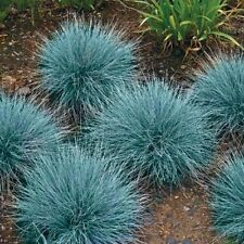 100+ ORNAMENTAL GRASS SEEDS - BLUE FESCUE - BEAUTIFUL BLUE-GREEN PERENNIAL GRASS