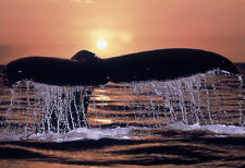 BEAUTIFUL WHALE AT SUNSET  * QUALITY CANVAS ART PRINT