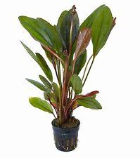 NEU!! Echinodorus x Altlandsber Wasserpflanzen Aquariumpflanze Aquarienpflanzen