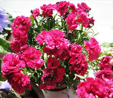 30 Carnation Seeds Dianthus caryophyllus Ornamental Garden Flowers