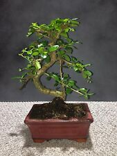 Chinese Carmona Macrophylla Bonsai Tree Approx 10 Years Old Oriental Plant #11