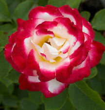 Double Delight Hybrid Tea Rose Seeds - Fantastic Frangrance - Climbing -20 Seeds