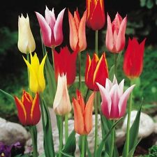 Pack x10 Lily Flowering Tulips Mixed WPC Prins Quality Spring Bulbs