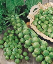 Long Island Improved  Heirloom Brussel sprouts 300+Seeds Organic NON-GMO