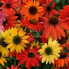 CHEYENNE SPIRIT ECHINACEA 15 SEEDS AN AMAZING DISPLAY OF COLORS BLOOM FIRST YEAR