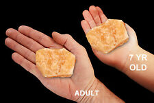 "Orange Calcite 2.5"" 7-12 Oz UNWASHED Rocks and Mineral Specimen Healing Crystals"