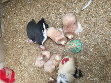 6 SALMON PEKIN BANTAM HATCHING EGGS FOR INCUBATION