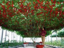 15 X TOMATO Giant Tree SEEDS  *RARE*HUGE vine Italian HEIRLOOM FREE POST