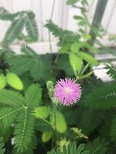 50+ Mimosa Pudica seeds Sensitive Plant Fun For All Ages Leaves move!