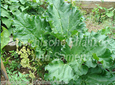 Rhabarber Victoria rouge 20 Graines délicieuse plante rustique Légumes et Fruits